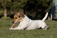 Laying Jack Russel Terrier Stock Photo