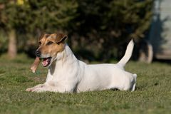 Laying Jack Russel Terrier Stock Photography