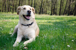 Laying labrador Royalty Free Stock Images
