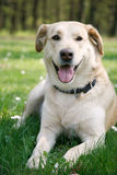 Laying labrador Stock Images