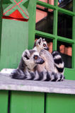 Laying lemurs. Attending lemurs in a window sill Royalty Free Stock Photo