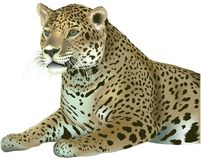 Laying Leopard Royalty Free Stock Photos