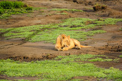 Laying Lion on gound Royalty Free Stock Photography