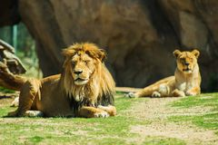 Laying Lions Royalty Free Stock Photo