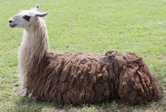 Laying llama Stock Photography