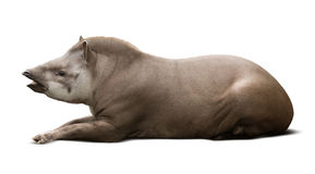 Laying male tapir Royalty Free Stock Photography