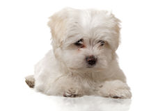Laying maltese puppy. On white background Stock Image