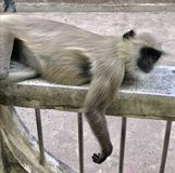 Laying monkey Royalty Free Stock Photos