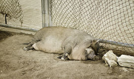 Laying pig Royalty Free Stock Photography