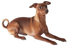 Laying pinscher Royalty Free Stock Photography