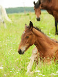 Laying pretty little  foal in field Stock Photography