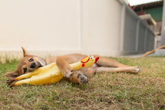 Laying puppy Royalty Free Stock Images