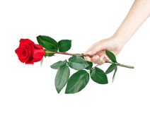 Laying of red rose. On white background stock photo