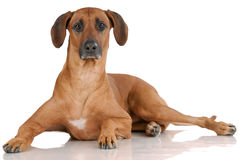 Laying Rhodesian Ridgeback Royalty Free Stock Image