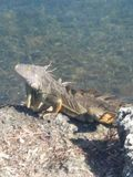 Iguana sunbathing. Laying on a rock, sunbathing in the keys. Clear water and no worries Stock Image