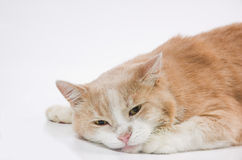Laying sad cat. On a white background Stock Photos