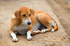 Laying stray dog Stock Image