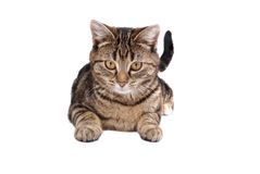 Laying Tabby Cat. A tabby cat laying down on white Stock Images