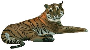 Laying Tiger Stock Image