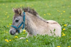 Laying welsh pony foal Royalty Free Stock Images