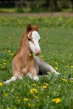 Laying welsh pony foal Royalty Free Stock Photos