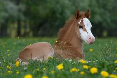 Laying welsh pony foal Royalty Free Stock Image