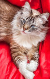 Laying White and grey fluffy cat with blue eyes looking up from above perspective and red background Stock Images