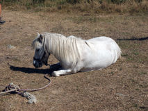 Laying white horse . Stock Photos