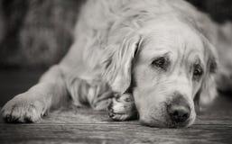 Laying white retriever with sad eyes Royalty Free Stock Photo