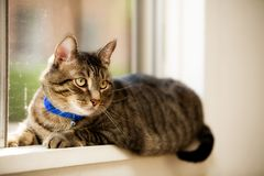 Laying in the Window. A pet cat laying in a residential window, eyes and ears alert, looking inside royalty free stock images