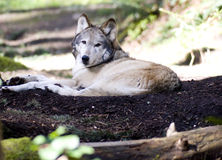Laying Wolf North American Timberwolf in Shade Stock Images