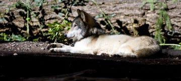 Laying Wolf North American Timberwolf Sunbathing Royalty Free Stock Photo