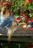 Laying Yorkshire terrier dog. Laying Yorkshire terrier glamur dog Stock Photos