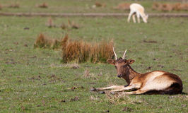 Laying Young horned deer Royalty Free Stock Photography