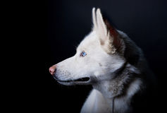 Layka blanc Photographie stock libre de droits