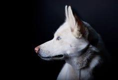 Layka branco Fotografia de Stock Royalty Free