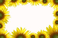 Layout from Golden sunflowers Royalty Free Stock Images