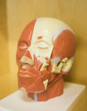 The layout of the muscles of the head Royalty Free Stock Photography