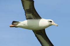 Laysan Albatros lizenzfreies stockbild