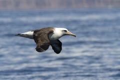 Laysan-Albatros, der über das Wasser fliegt Lizenzfreie Stockfotos