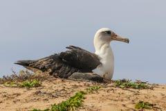 Laysan-Albatros Phoebastria-immutabilis Stockfotos