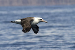 Laysan albatross that flies over the waters Royalty Free Stock Photos