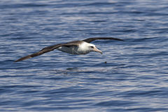 Laysan albatross that flies over the waters Royalty Free Stock Photo