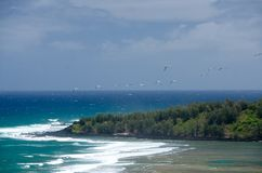 Laysan albatross flock glides over Larsen's beach Stock Photos