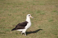 Laysan Albatross Stock Photography