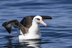 Laysan albatross sitting opened wings on the water Royalty Free Stock Images