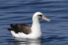 Laysan albatross sitting on the waves near the Commander Royalty Free Stock Images