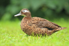 Laysan teal. The laysan teal in the grass Stock Image