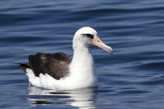 Laysanalbatros die op de wateren van de Stille Oceaan zit Stock Afbeelding
