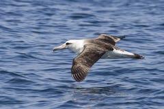 Laysanalbatros die over de wateren van de Stille Oceaan hangt Royalty-vrije Stock Foto